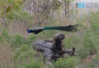 Pfau im Panna Nationalpark